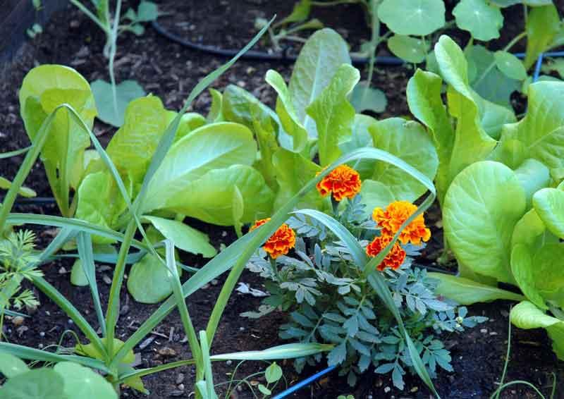 Asociaci n de cultivos taringa for Que son cultivos asociados